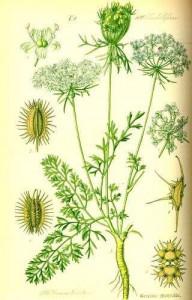 carotte-sauvage-planche-botanique