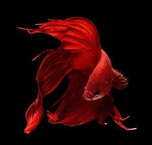 poisson-c-rouge