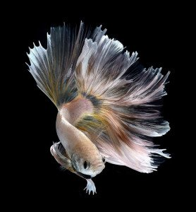 poisson-combattant