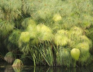 Cyperus_papyrus-r