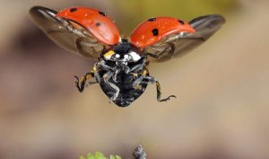 ladybird_flying_0_0