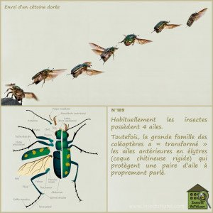 vol-coléopteres